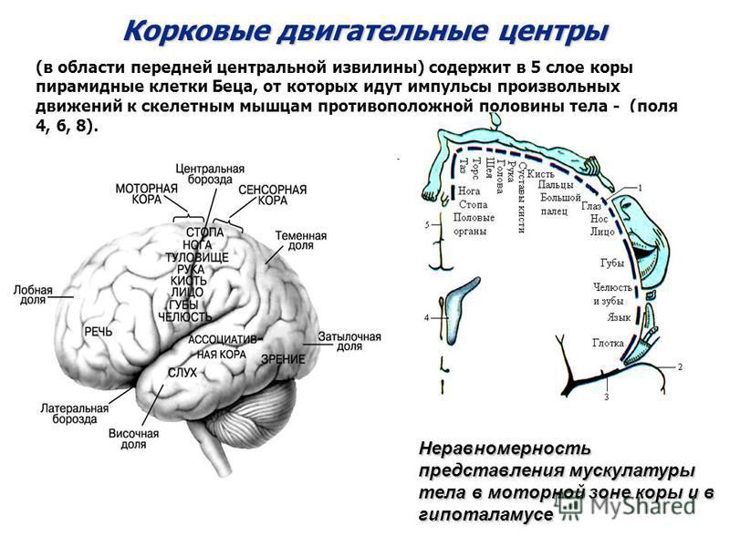 Корковые двигательные центры (в области передней центральной извилины) содержит в 5 слое коры пирамидные клетки Беца, от которых идут импульсы произвольных движений к скелетным мышцам противоположной половины тела - (поля 4, 6, 8). Неравномерность пр