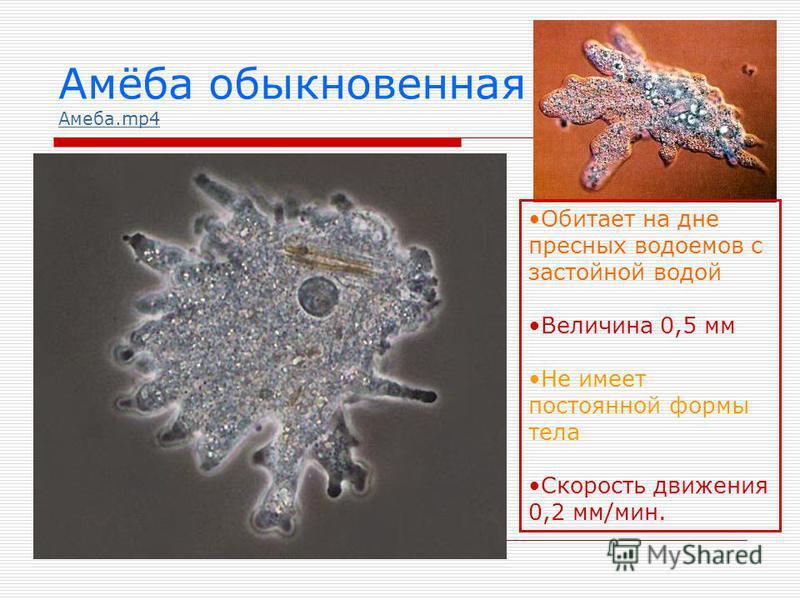 Амёба обыкновенная Амеба.mp4 Амеба.mp4 Обитает на дне пресных водоемов с застойной водой Величина 0,5 мм Не имеет постоянной формы тела Скорость движения 0,2 мм/мин.