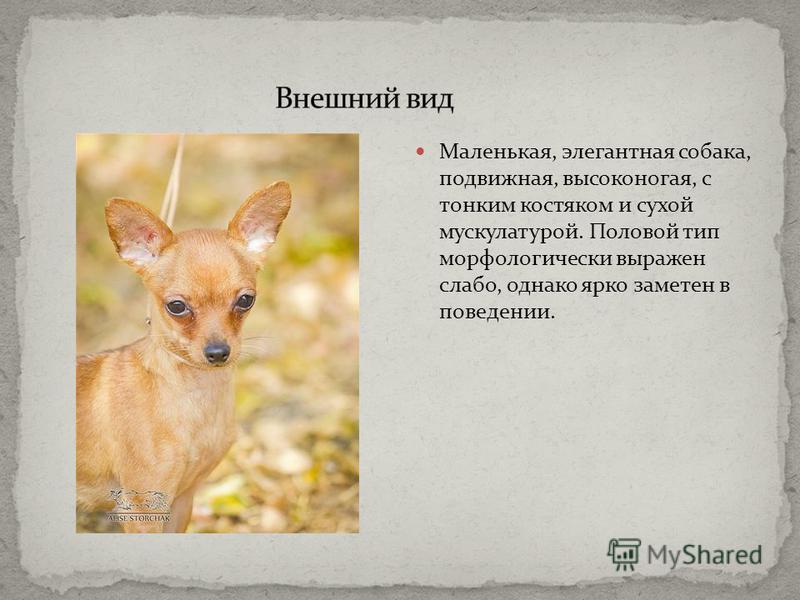 Маленькая, элегантная собака, подвижная, высоконогая, с тонким костяком и сухой мускулатурой. Половой тип морфологически выражен слабо, однако ярко заметен в поведении.