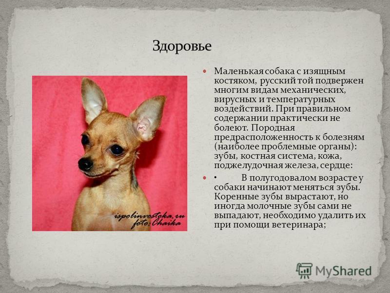 Маленькая собака с изящным костяком, русский той подвержен многим видам механических, вирусных и температурных воздействий. При правильном содержании практически не болеют. Породная предрасположенность к болезням (наиболее проблемные органы): зубы, к