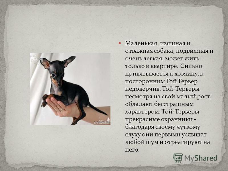 Маленькая, изящная и отважная собака, подвижная и очень легкая, может жить только в квартире. Сильно привязывается к хозяину, к посторонним Той Терьер недоверчив. Той-Терьеры несмотря на свой малый рост, обладают бесстрашным характером. Той-Терьеры п