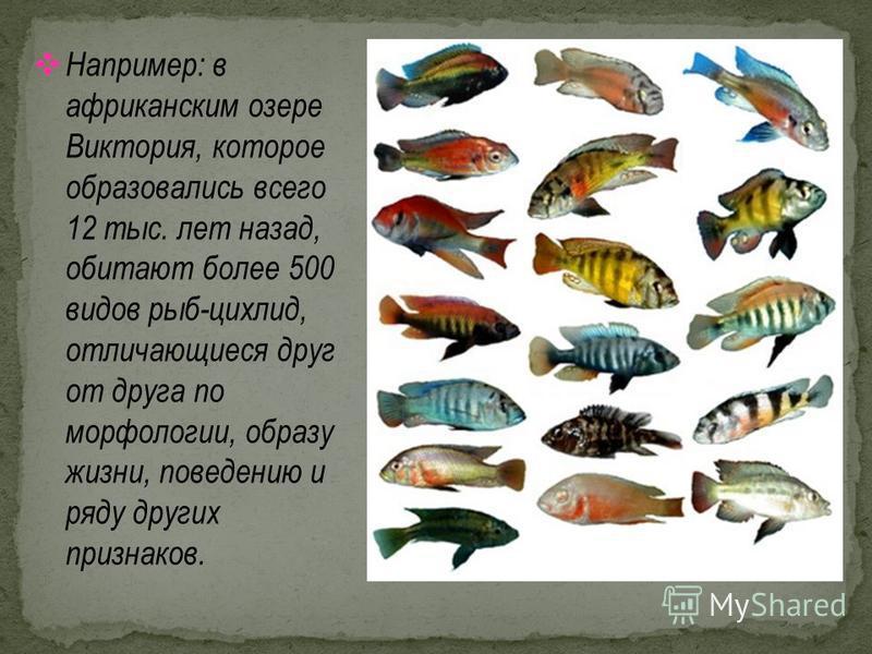 Например: в африканским озере Виктория, которое образовались всего 12 тыс. лет назад, обитают более 500 видов рыб-цихлид, отличающиеся друг от друга по морфологии, образу жизни, поведению и ряду других признаков.