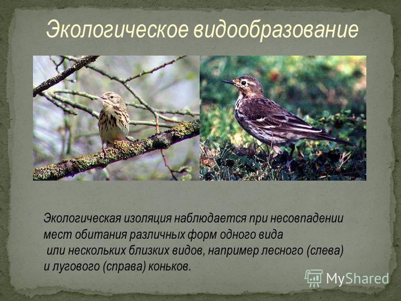 Экологическое видообразование Экологическая изоляция наблюдается при несовпадении мест обитания различных форм одного вида или нескольких близких видов, например лесного (слева) и лугового (справа) коньков.