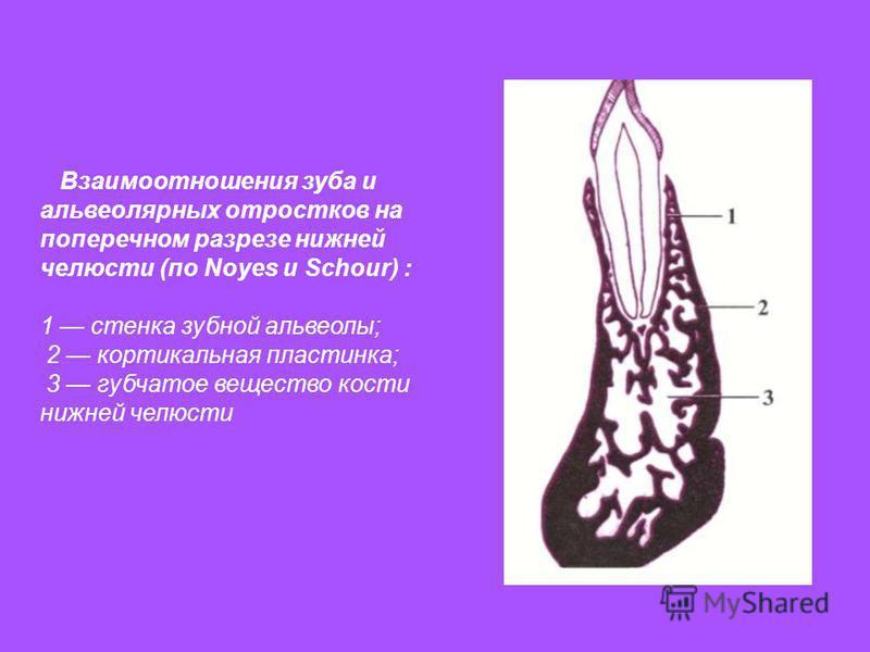 Взаимоотношения зуба и альвеолярных отростков на поперечном разрезе нижней челюсти (по Noyes и Schour) : 1 стенка зубной альвеолы; 2 кортикальная пластинка; 3 губчатое вещество кости нижней челюсти