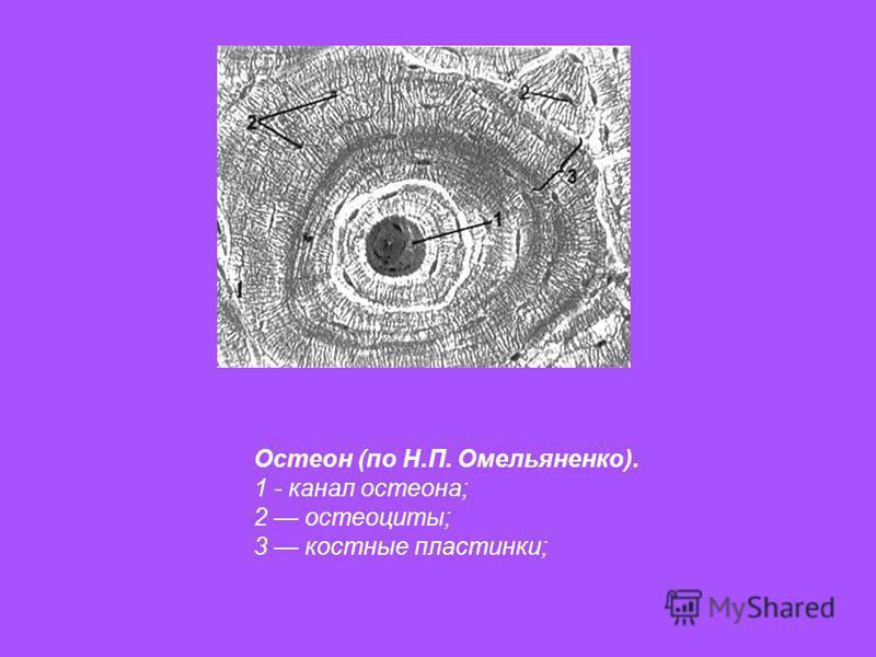 Остеон (по Н.П. Омельяненко). 1 - канал остеона; 2 остеоциты; 3 костные пластинки;