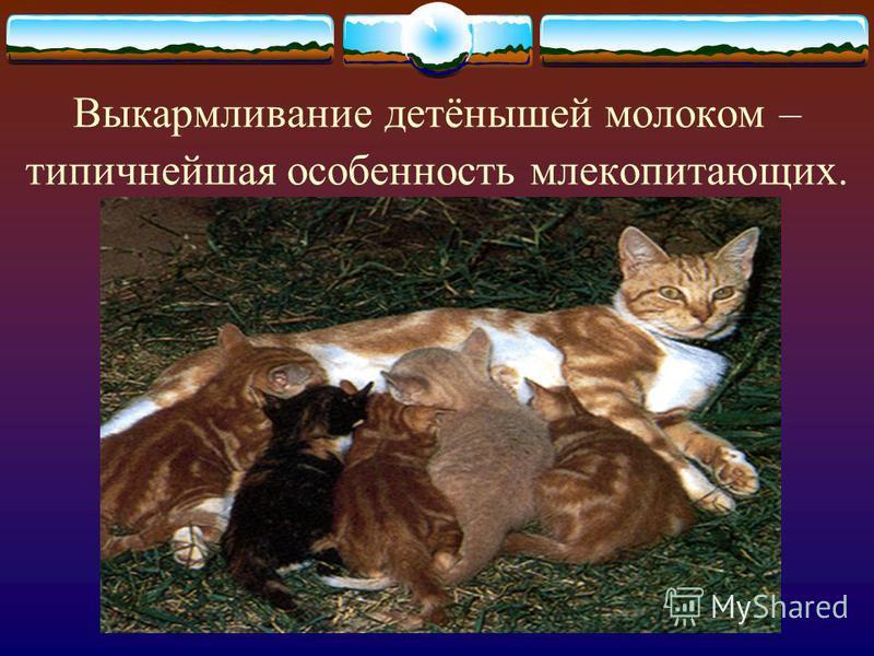 Выкармливание детёнышей молоком – типичнейшая особенность млекопитающих.