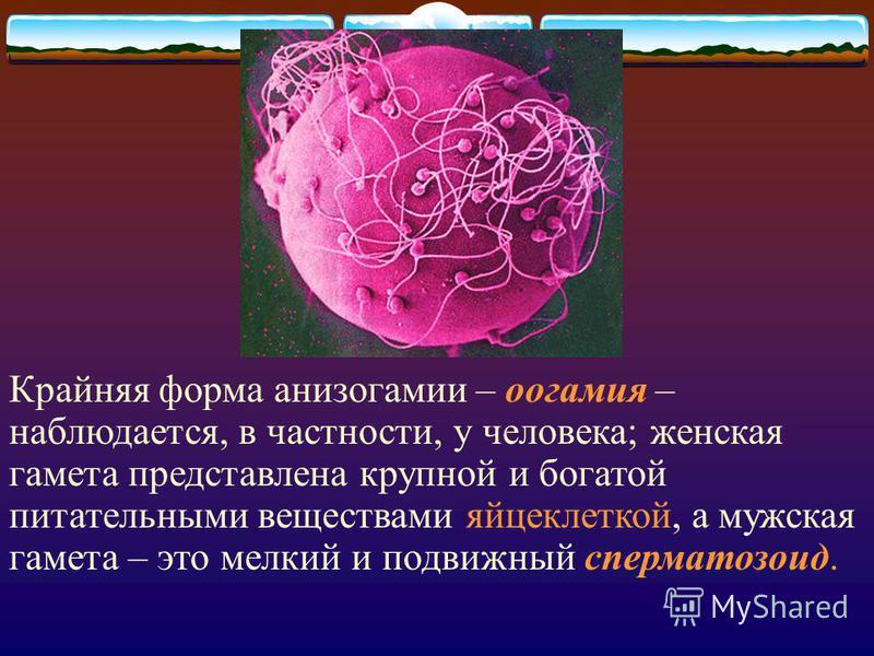 Крайняя форма анизогамии – оогамия – наблюдается, в частности, у человека; женская гамета представлена крупной и богатой питательными веществами яйцеклеткой, а мужская гамета – это мелкий и подвижный сперматозоид.