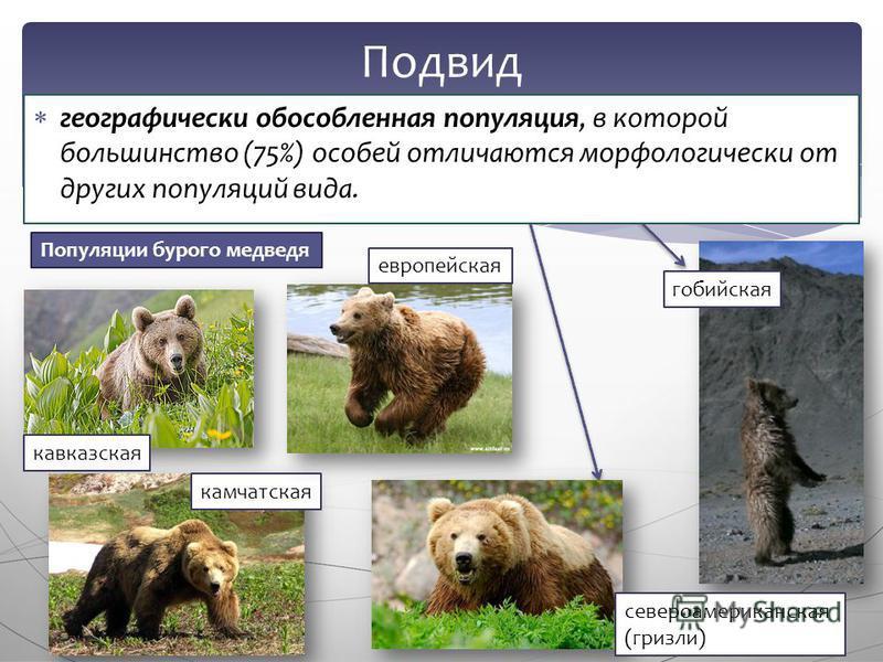 географически обособленная популяция, в которой большинство (75%) особей отличаются морфологически от других популяций вида. Подвид Популяции бурого медведя кавказская камчатская европейская гобийская североамериканская (гризли)