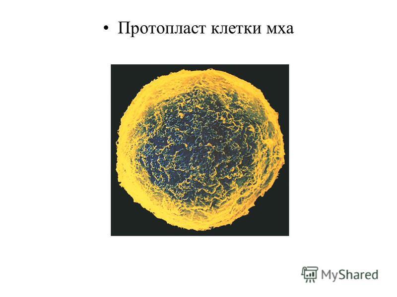 Протопласт клетки мха