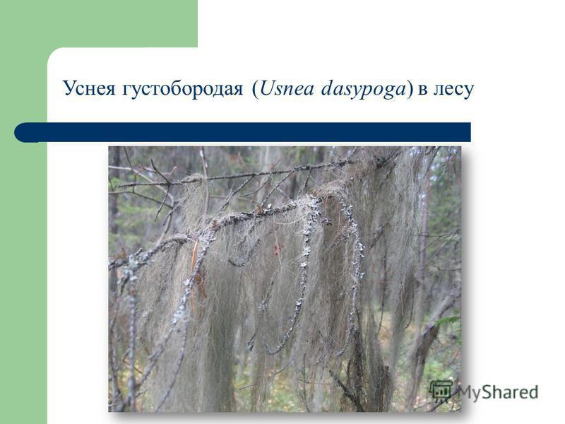 Уснея густобородая (Usnea dasypoga) в лесу