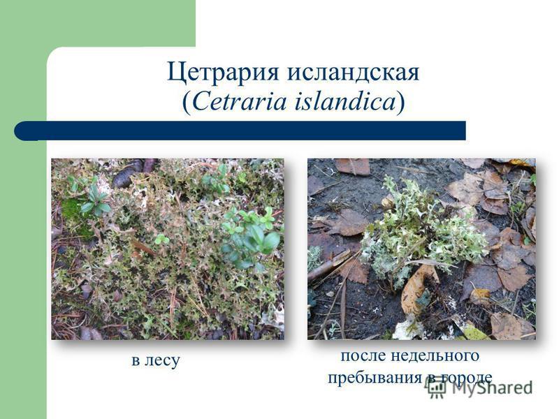 Цетрария исландская (Cetraria islandica) в лесу после недельного пребывания в городе