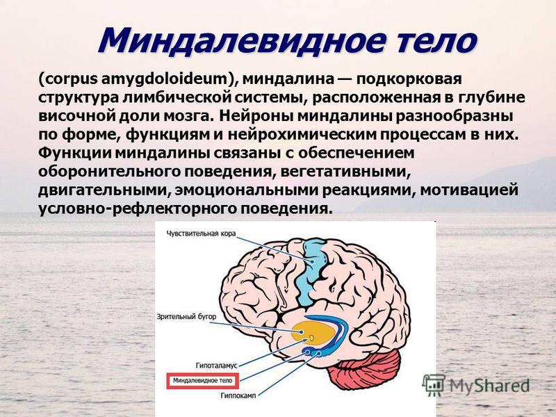 Миндалевидное тело (corpus amygdoloideum), миндалина подкорковая структура лимбической системы, расположенная в глубине височной доли мозга. Нейроны миндалины разнообразны по форме, функциям и нейрохимическим процессам в них. Функции миндалины связан