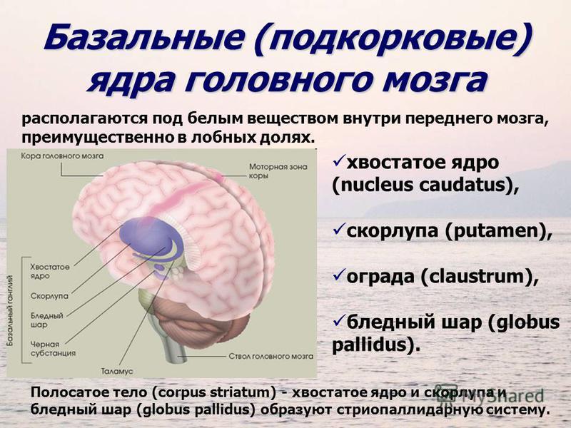 Базальные (подкорковые) ядра головного мозга располагаются под белым веществом внутри переднего мозга, преимущественно в лобных долях. хвостатое ядро (nucleus caudatus), скорлупа (putamen), ограда (claustrum), бледный шар (globus pallidus). Полосатое
