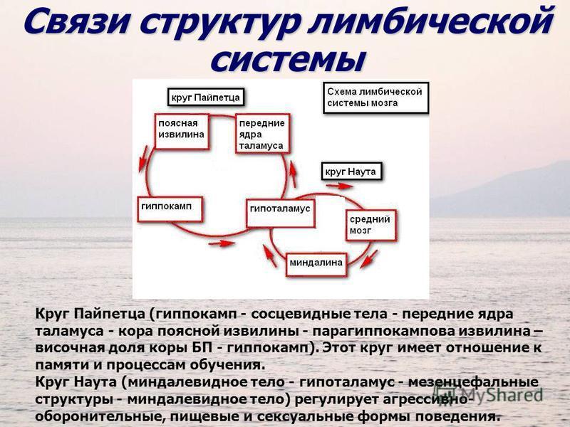 Круг Пайпетца (гиппокамп - сосцевидные тела - передние ядра таламуса - кора поясной извилины - парагиппокампова извилина – височная доля коры БП - гиппокамп). Этот круг имеет отношение к памяти и процессам обучения. Круг Наута (миндалевидное тело - г