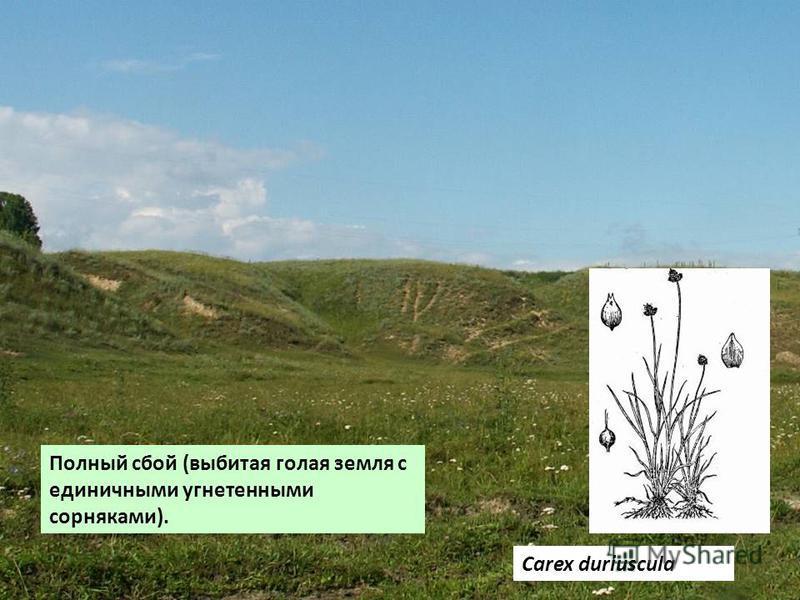 Полный сбой (выбитая голая земля с единичными угнетенными сорняками). Carex duriuscula
