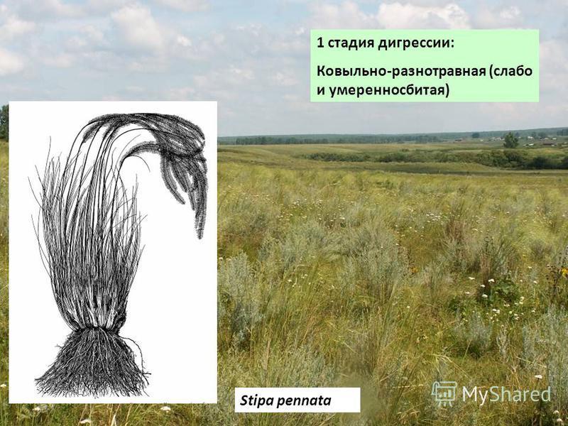 1 стадия дигрессии: Ковыльно-разнотравная (слабо и умеренно сбитая) Stipa pennata
