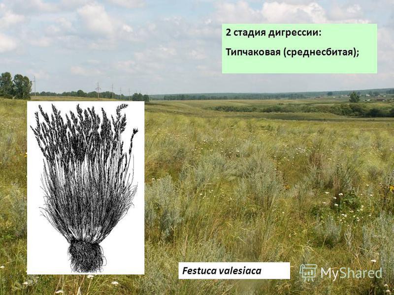 2 стадия дигрессии: Типчаковая (средне сбитая); Festuca valesiaca