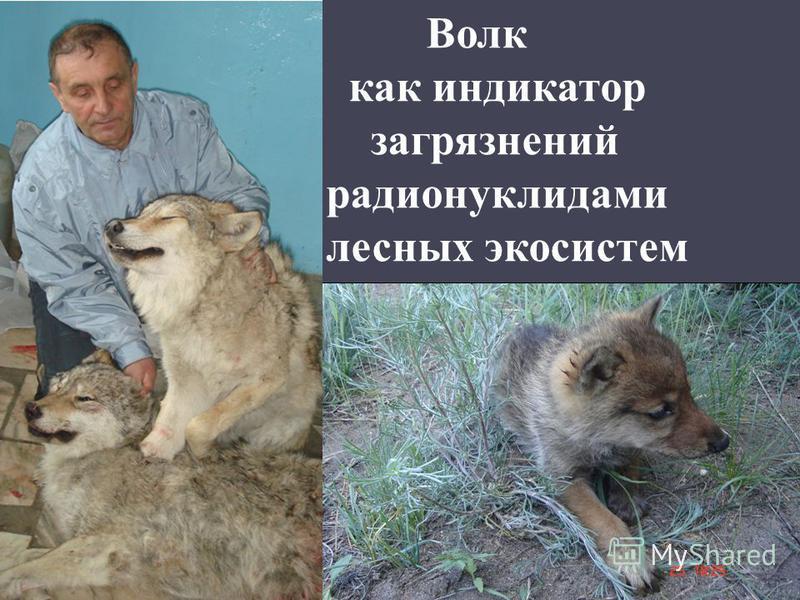 Волк как индикатор загрязнений радионуклидами лесных экосистем