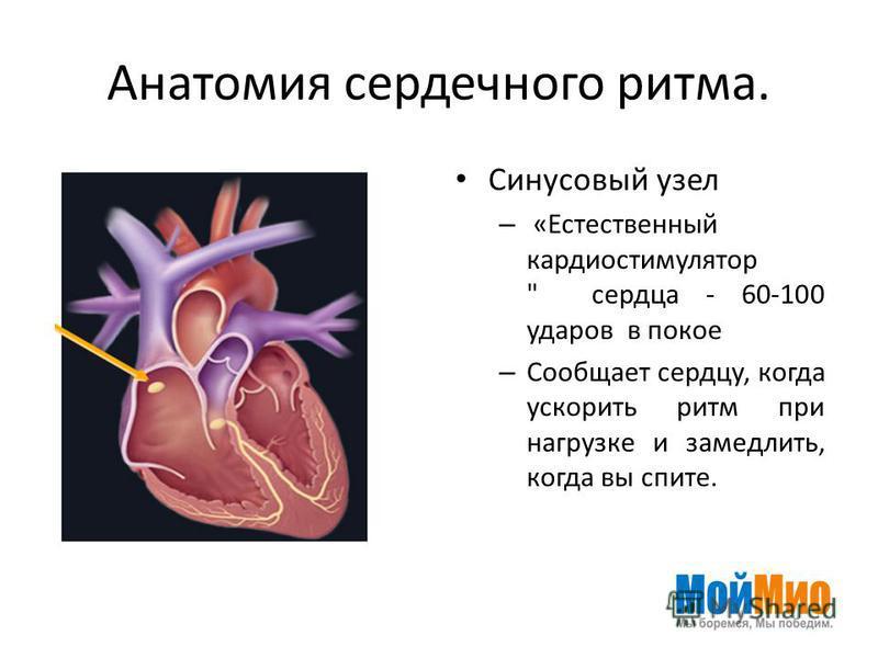 Анатомия сердечного ритма. Синусовый узел – «Естественный кардиостимулятор  сердца - 60-100 ударов в покое – Сообщает сердцу, когда ускорить ритм при нагрузке и замедлить, когда вы спите.