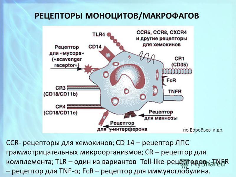 РЕЦЕПТОРЫ МОНОЦИТОВ/МАКРОФАГОВ CCR- рецепторы для хемокинов; CD 14 – рецептор ЛПС грамотрицательных микроорганизмов; CR – рецептор для комплемента; TLR – один из вариантов Toll-like-рецепторов ; TNFR – рецептор для TNF-α; FcR – рецептор для иммуногло