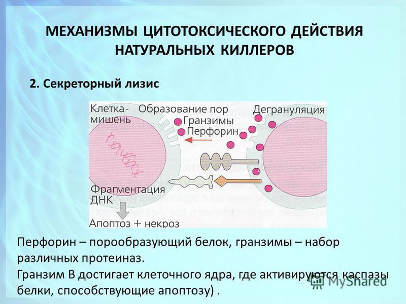 МЕХАНИЗМЫ ЦИТОТОКСИЧЕСКОГО ДЕЙСТВИЯ НАТУРАЛЬНЫХ КИЛЛЕРОВ 2. Секреторный лизис Перфорин – порообразующий белок, гран зимы – набор различных протеиназ. Гранзим В достигает клеточного ядра, где активируются каспазы белки, способствующие апоптозу).