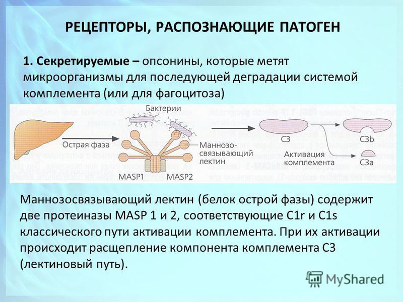 РЕЦЕПТОРЫ, РАСПОЗНАЮЩИЕ ПАТОГЕН 1. Секретируемые – опсонины, которые метят микроорганизмы для последующей деградации системой комплемента (или для фагоцитоза) Маннозосвязывающий лектин (белок острой фазы) содержит две протеиназы MASP 1 и 2, соответст