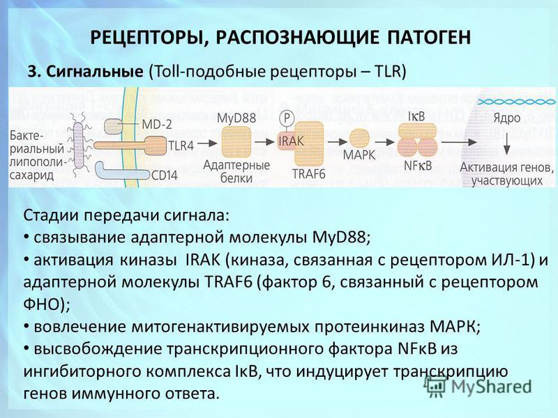 РЕЦЕПТОРЫ, РАСПОЗНАЮЩИЕ ПАТОГЕН 3. Сигнальные (Toll-подобные рецепторы – TLR) Стадии передачи сигнала: связывание адаптерной молекулы MyD88; активация киназы IRAK (киназа, связанная с рецептором ИЛ-1) и адаптерной молекулы TRAF6 (фактор 6, связанный