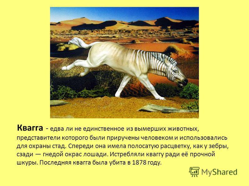 Квагга - едва ли не единственное из вымерших животных, представители которого были приручены человеком и использовались для охраны стад. Спереди она имела полосатую расцветку, как у зебры, сзади гнедой окрас лошади. Истребляли кваггу ради её прочной