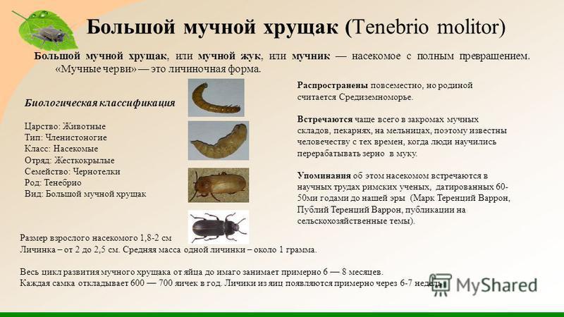 Большой мучной хрущак (Tenebrio molitor) Большой мучной хрущак, или мучной жук, или мучник насекомое с полным превращением. «Мучные черви» это личиночная форма. Биологическая классификация Царство: Животные Тип: Членистоногие Класс: Насекомые Отряд: