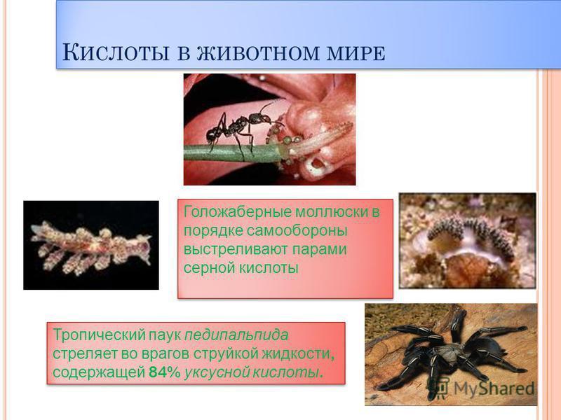 К ИСЛОТЫ В ЖИВОТНОМ МИРЕ Тропический паук педипальпида стреляет во врагов струйкой жидкости, содержащей 84% уксусной кислоты. Тропический паук педипальпида стреляет во врагов струйкой жидкости, содержащей 84% уксусной кислоты. Голожаберные моллюски в