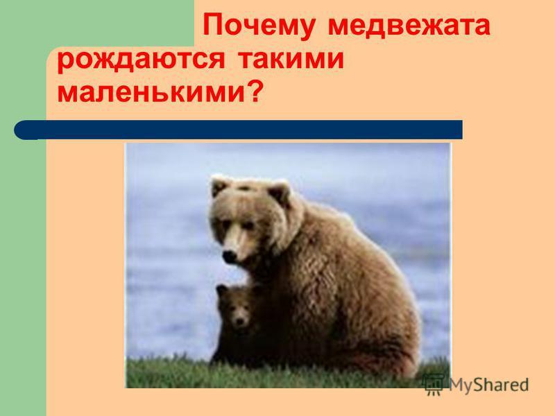 Почему медвежата рождаются такими маленькими?