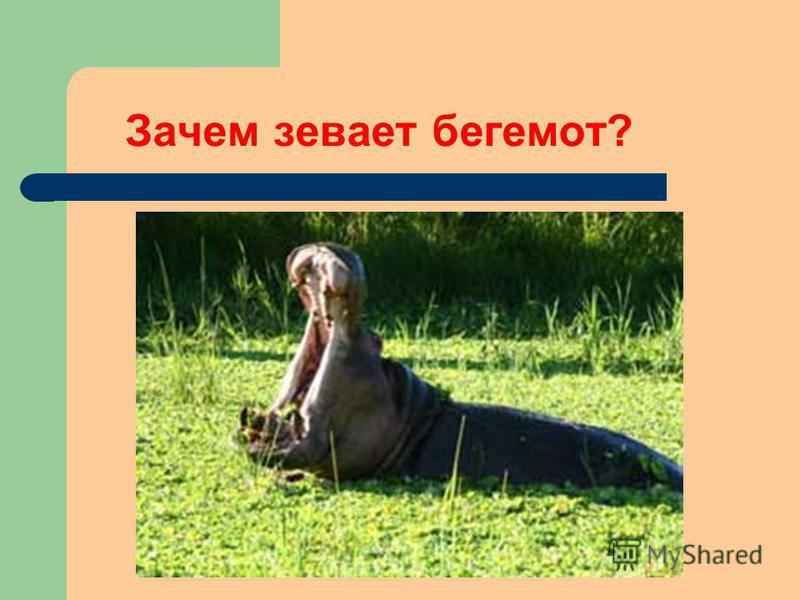 Зачем зевает бегемот?