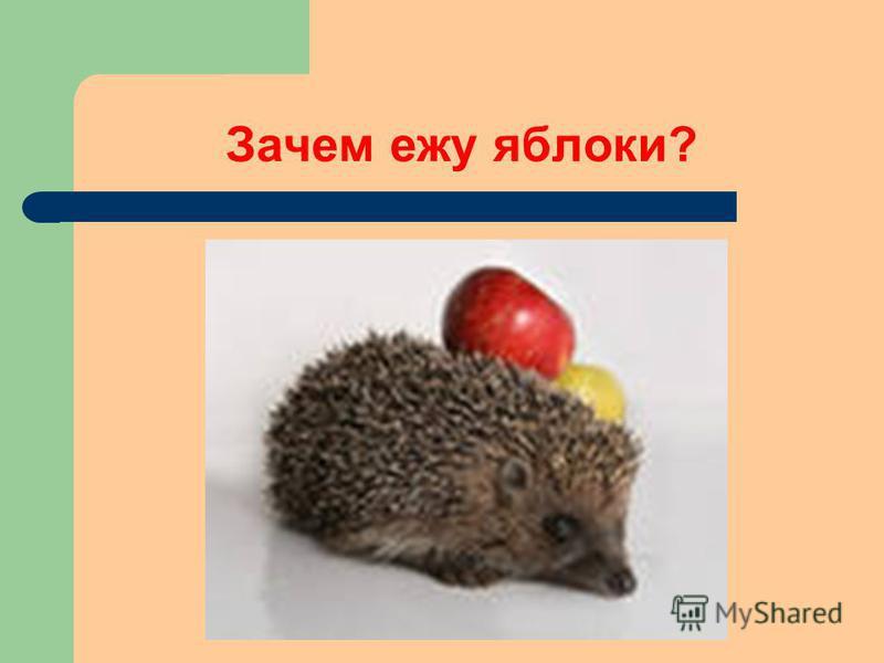 Зачем ежу яблоки?