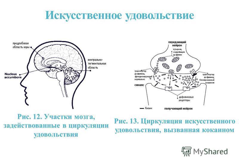 Искусственное удовольствие Рис. 12. Участки мозга, задействованные в циркуляции удовольствия Рис. 13. Циркуляция искусственного удовольствия, вызванная кокаином