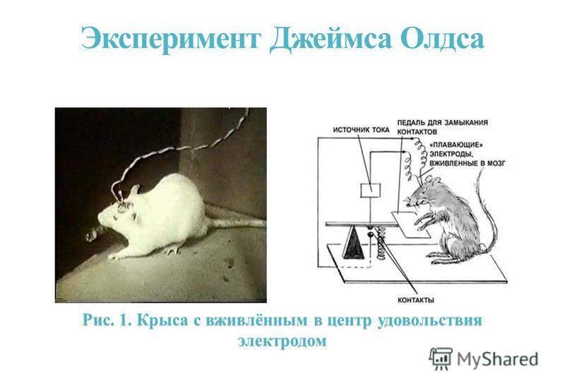 Эксперимент Джеймса Олдса Рис. 1. Крыса с вживлённым в центр удовольствия электродом