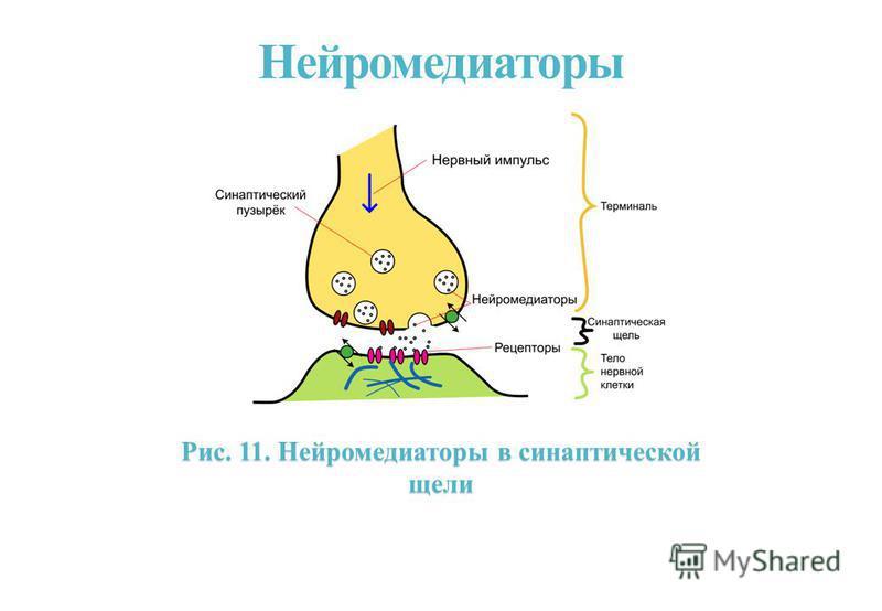 Нейромедиаторы Рис. 11. Нейромедиаторы в синаптической щели