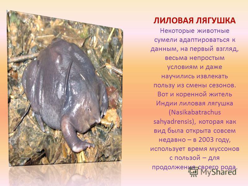 ЛИЛОВАЯ ЛЯГУШКА Некоторые животные сумели адаптироваться к данным, на первый взгляд, весьма непростым условиям и даже научились извлекать пользу из смены сезонов. Вот и коренной житель Индии лиловая лягушка (Nasikabatrachus sahyadrensis), которая как