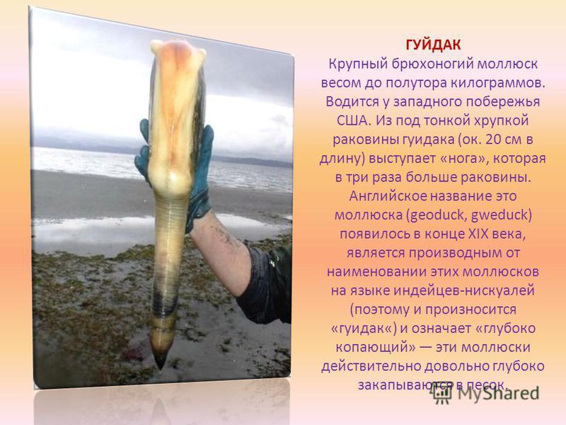 ГУЙДАК Крупный брюхоногий моллюск весом до полутора килограммов. Водится у западного побережья США. Из под тонкой хрупкой раковины гуидака (ок. 20 см в длину) выступает «нога», которая в три раза больше раковины. Английское название это моллюска (geo