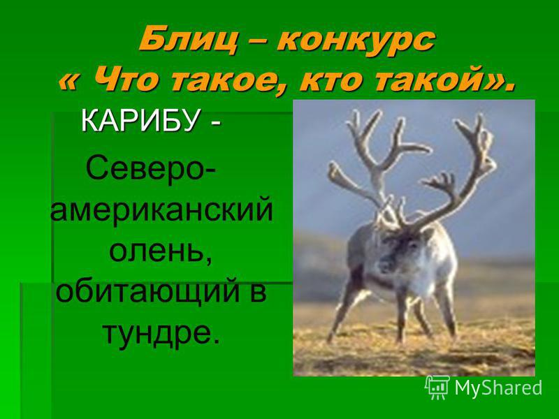 КАРИБУ - Северо- американский олень, обитающий в тундре.