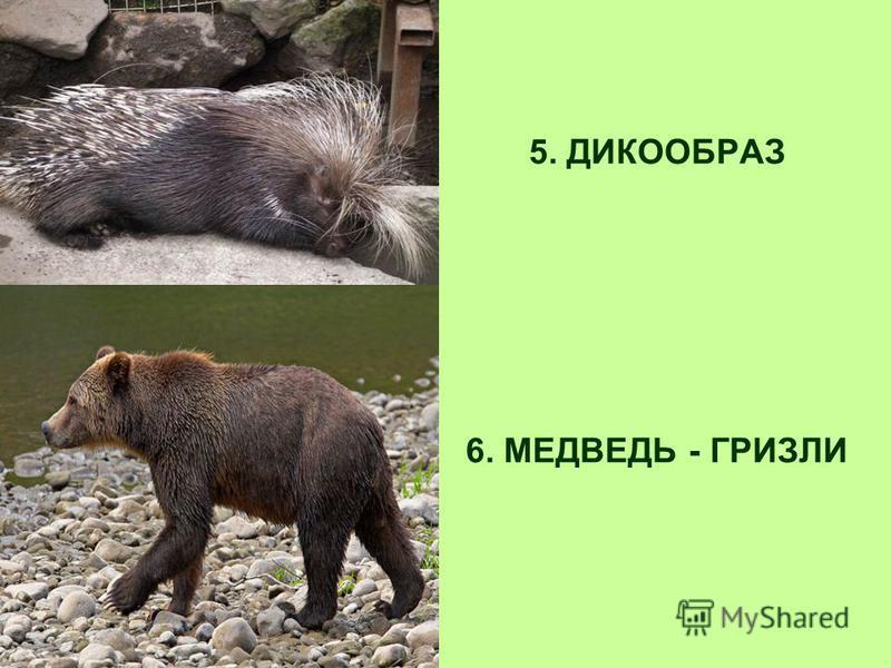 5. ДИКООБРАЗ 6. МЕДВЕДЬ - ГРИЗЛИ