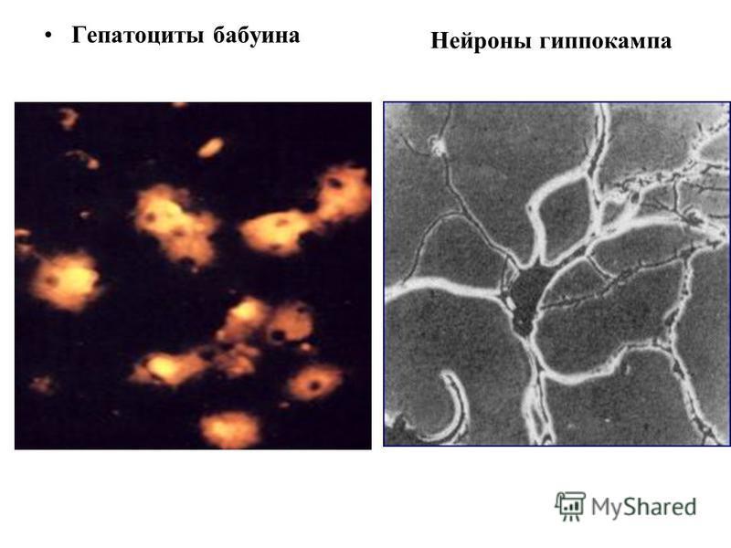 Гепатоциты бабуина Нейроны гиппокампа
