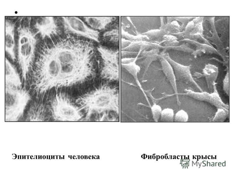 Эпителиоциты человека Фибробласты крысы
