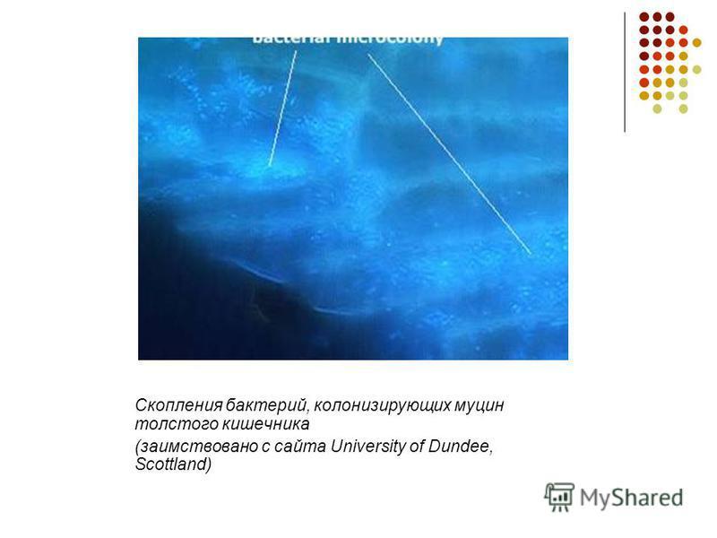 Скопления бактерий, колонизирующих муцин толстого кишечника (заимствовано с сайта University of Dundee, Scottland)
