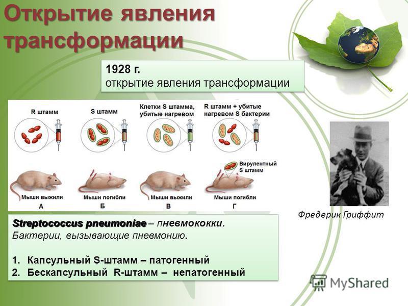 Открытие явления трансформации 1928 г. открытие явления трансформации 1928 г. открытие явления трансформации Фредерик Гриффит Streptococcus pneumoniae Streptococcus pneumoniae – пневмококки. Бактерии, вызывающие пневмонию. 1. Капсульный S-штамм – пат
