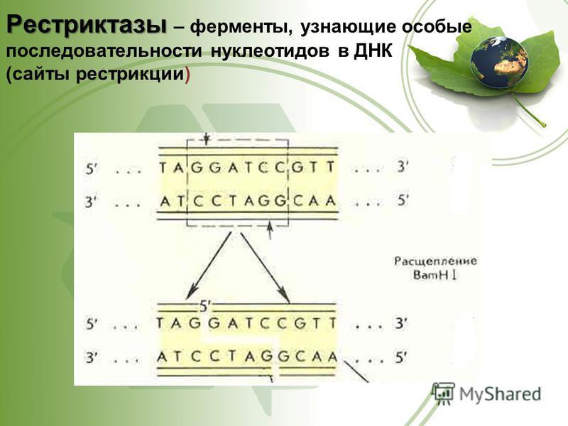 Рестриктазы Рестриктазы – ферменты, узнающие особые последовательности нуклеотидов в ДНК (сайты рестрикции)