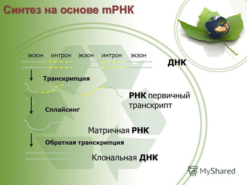 ДНК экзонинтронэкзон интрон Транскрипция РНК первичный транскрипт Сплайсинг Матричная РНК Обратная транскрипция Клональная ДНК Синтез на основе мРНК