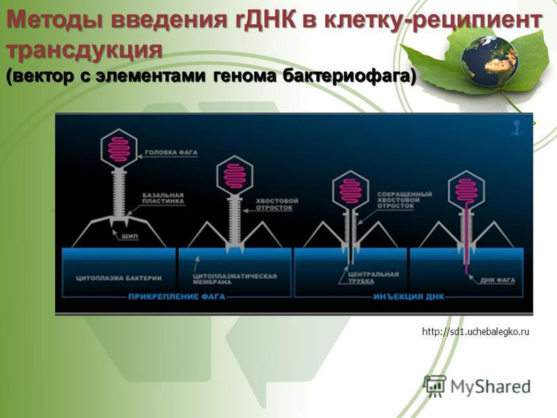Методы введения rДНК в клетку-реципиент трансдукция (вектор с элементами генома бактериофага) http://sd1.uchebalegko.ru
