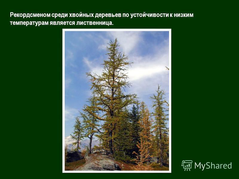 Рекордсменом среди хвойных деревьев по устойчивости к низким температурам является лиственница.