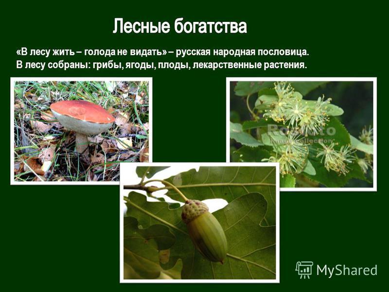 «В лесу жить – голода не видать» – русская народная пословица. В лесу собраны: грибы, ягоды, плоды, лекарственные растения.