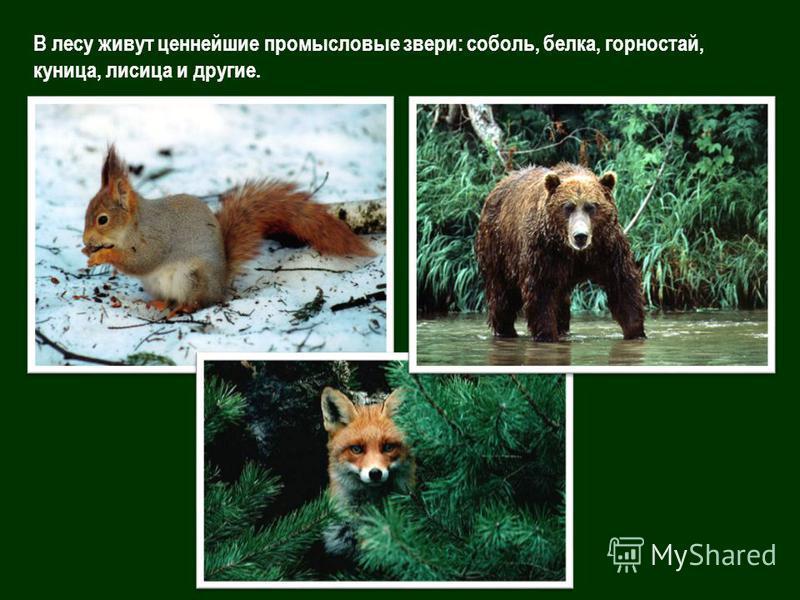 В лесу живут ценнейшие промысловые звери: соболь, белка, горностай, куница, лисица и другие.